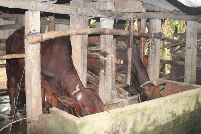 Xã Hành Tín Đông đã xé rào thu tiền bò được cấp phát miễn phí cho hộ nghèo để xoay vòng vốn