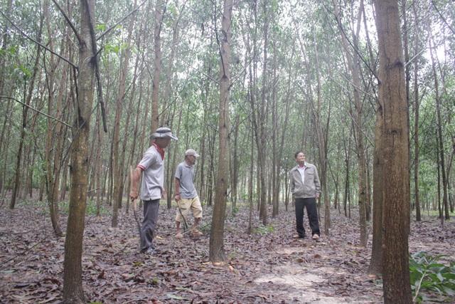 Chỉ một năm nữa, rừng cây xanh tốt này sẽ mang về cho Hội Khuyến học xã Tịnh Trà nguồn quỹ trên 250 triệu đồng