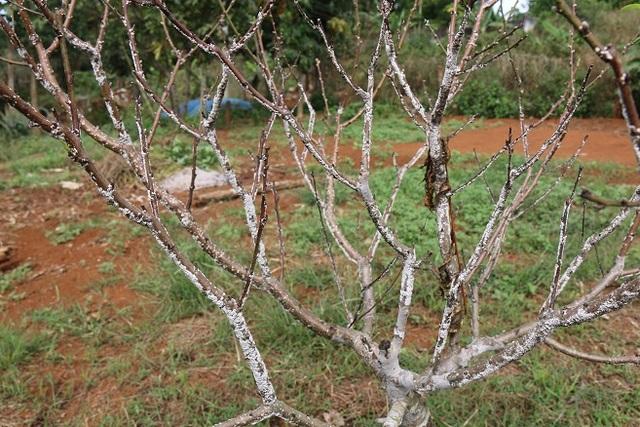Đào mắc bệnh khiến hoa bị thui, chột, nhiều cây không còn khả năng sống