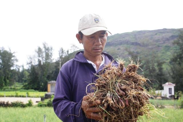 Người nông dân Lý Sơn buồn rầu vì hành chết quá nhiều.