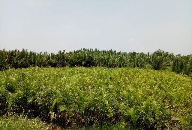 Các nhà nghiên cứu khuyến nghị tỉnh Quảng Ngãi cần cân nhắc cẩn thận trước khi phá bỏ rừng dừa nước Bình Phước