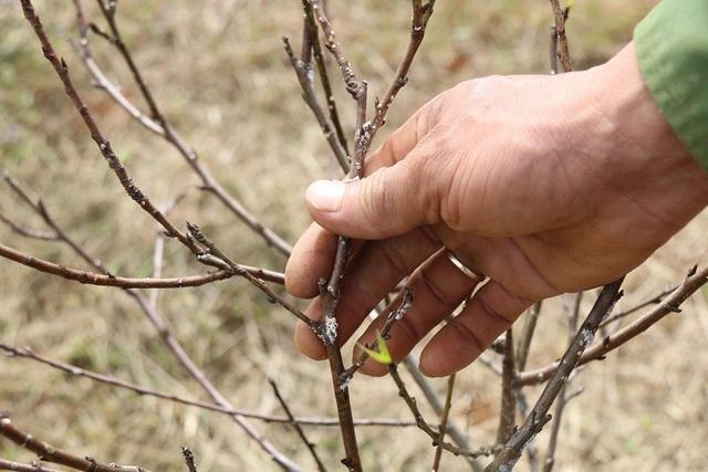 Phần lớn đều liên quan đến rệp sáp và bệnh xì mủ thân cây