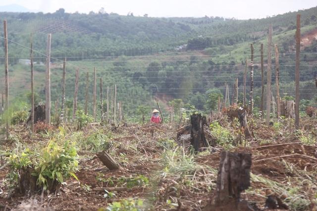 Nhiều diện tích khác được sử dụng để trồng cây công nghiệp lâu năm