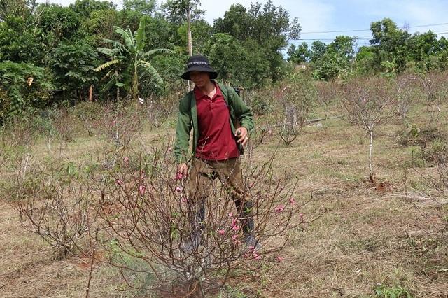 Gia đình anh Nam phải phun thuốc để vớt vát vườn đào hơn 1000 gốc