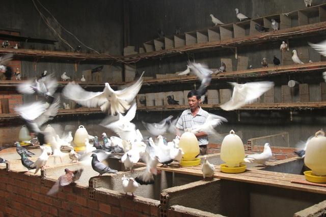 Hàng trăm con chim bồ câu Pháp, Mỹ... được nuôi trong nhà