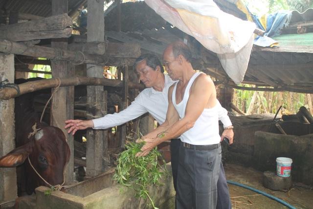 Ông Lê Văn Sáu - PCT UBMTTQVN tỉnh Quảng Ngãi trực tiếp kiểm tra số bò đã được cấp phát trên thực tế