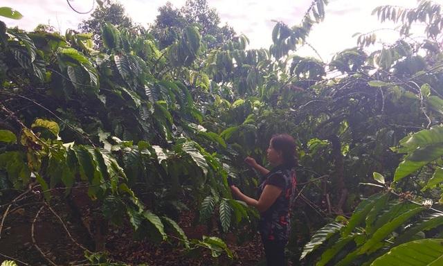 Chị Lục vui mừng ra thăm vườn cà phê ngày đầu xuân