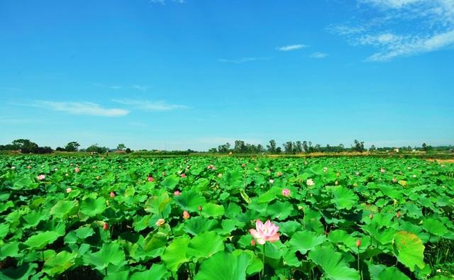 Huyện Vĩnh Lộc đề nghị thu hồi đất lúa để xây dựng tạm thời các vườn hoa bốn mùa để khai thác du lịch trải nghiệm