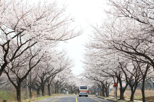 Hoa anh đào - Lời mời gọi của mùa Xuân Hàn Quốc - 6