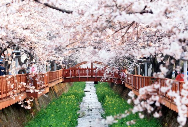 Hoa anh đào - Lời mời gọi của mùa Xuân Hàn Quốc - 5