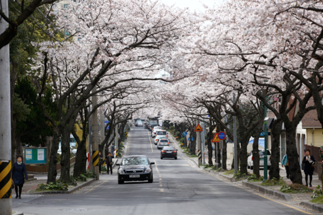 Hoa anh đào - Lời mời gọi của mùa Xuân Hàn Quốc - 4