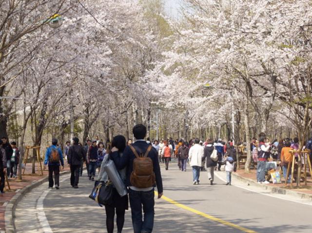 Hoa anh đào - Lời mời gọi của mùa Xuân Hàn Quốc - 2
