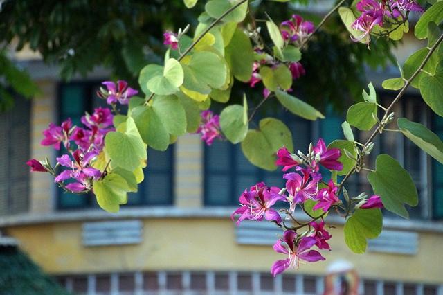 Khoảng hai năm trở lại đây, Hà Nội có trồng thêm ở một số tuyến phố loài Hoa ban với sắc tím rực rỡ.