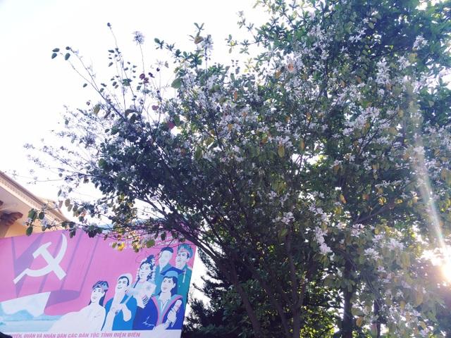 Ngẩn ngơ ngắm hoa ban nở trắng trời Điện Biên - 11