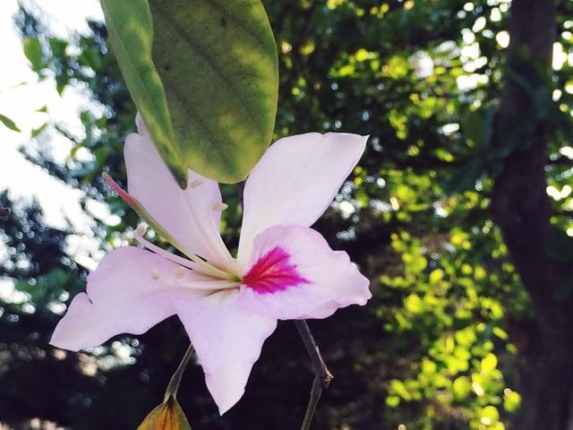 Ngắm sắc trắng hoa ban, tâm hồn ai cũng dễ xao xuyến.