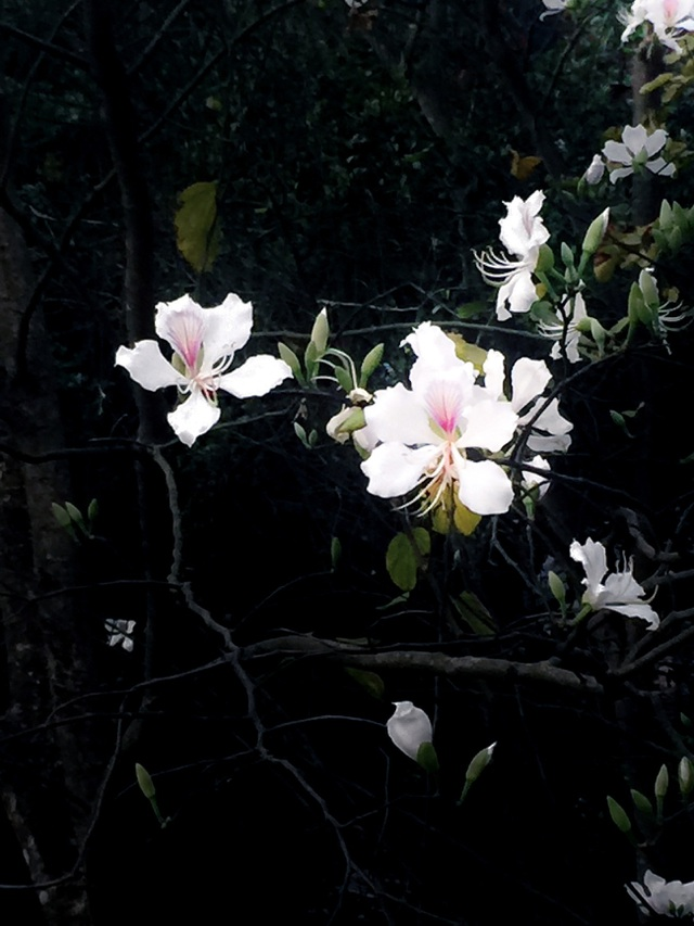 Ngẩn ngơ ngắm hoa ban nở trắng trời Điện Biên - 12