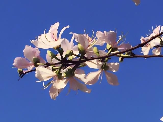 Ngẩn ngơ ngắm hoa ban nở trắng trời Điện Biên - 13