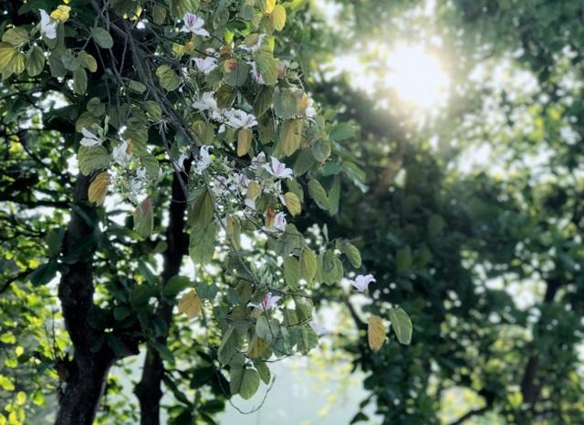 Ngẩn ngơ ngắm hoa ban nở trắng trời Điện Biên - 4
