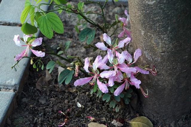 Một số cây, hoa còn nở rực ở các nhánh mọc sát gốc.
