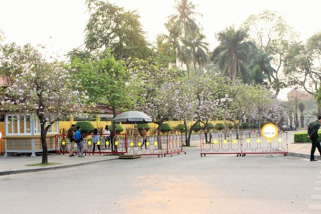 Hàng hoa ban bung nở trong nắng chiều trên đường Hoàng Diệu.