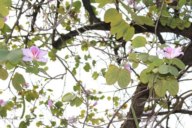 Sắc hoa tím pha trắng, xen lẫn trong nền lá xanh giữa trời Hà Nội đã làm nên một mùa hoa đẹp mê hồn