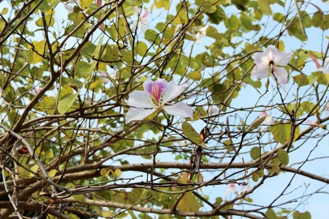 Trong ánh nắng nhẹ chớm hạ, những cánh hoa ánh lên màu tím khiến cho sự náo nhiệt, ồn ã và bụi bặm của phố phường Hà Nội như lắng lại.