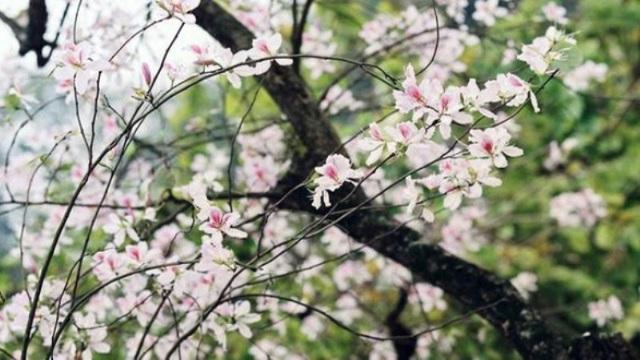 Những bông hoa ban trắng ngần hay phơn phớt tím hồng dịu dàng, e ấp ấy qua tay người phụ nữ dân tộc Thái lại trở thành những món ngon đến lạ kì.