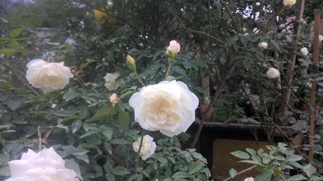 Hoa hồng ngoại Jeanne Moreau là giống có xuất xứ từ Pháp. Loại hoa này có giá từ 1,5 đến gần 2 triệu đồng/chậu. Hoa nhiều cánh, hương thơm vị chanh tạo cảm giác trang nhã trong gia đình.