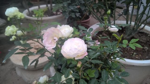 Hoa hồng ngoại Jeanne Moreau là loại hồng leo, mọc thành bụi và khá dễ sống. Chị Thủy cho biết, tại một số khu vực như Đà Lạt, Sapa của Việt Nam, những khách sạn lớn đã trồng thành công loại hoa tuyệt đẹp này