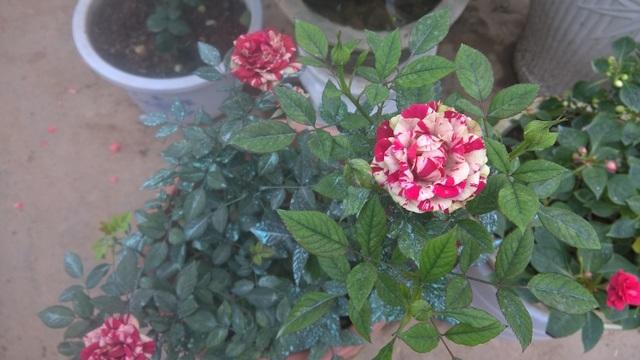 Hoa hồng sọc Abracadabra Rose (Đức) được bán với giá hơn 500.000 đồng/chậu. Đây cũng là dạng hoa leo trong nhà, nhập khẩu.