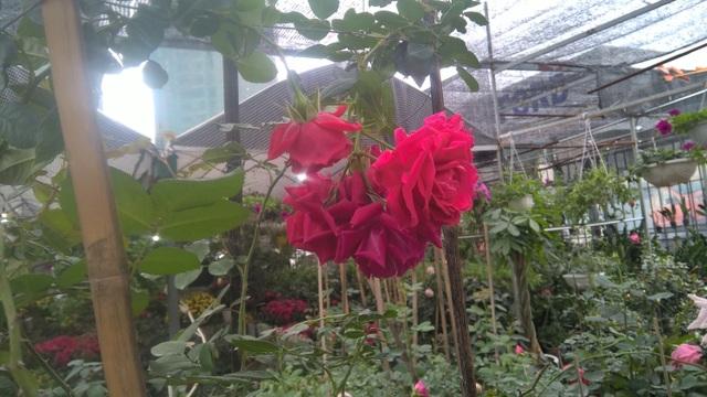 Hoa hồng leo Falstaff Rose xuất xứ từ Anh, loại hoa này có màu đỏ, tím. Giá loại hoa này là 1,3 triệu đồng/chậu