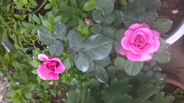 Hoa hồng Rhapsody(xuất xứ từ Anh) loại này đã được lai tạo tại Việt Nam với giống hồng trong nước, tuy nhiên chủ vườn hoa cho biết sắc hoa đặc trưng vẫn giữ được như hoa nhập