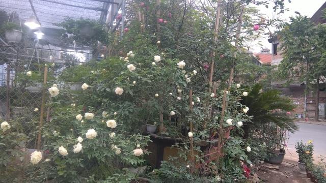 Chỉ với hai chậu hoa hồng ngoại Jeanne Moreau, nhưng số lượng hoa đã phủ kín không gian của cửa hàng. Những chậu lớn như này được vận chuyển về Việt Nam trước tết 2 tháng