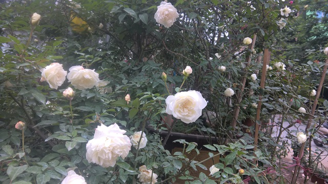 Theo chủ cửa hàng, sở dĩ hoa hồng ngoại nói chung và hoa hồng Jeanne Moreau nói riêng có giá cả đắt đỏ vì tại Việt Nam, giống hoa hồng ngoại khá hiếm và đây là loại hoa được nhiều người ưa thích