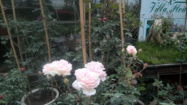 Theo giải thích, hoa hồng ngoại Jeanne Moreau nói riêng và các loại hoa hồng leo có thế mạnh là nhiều bông, một lần ra hoa thường từ 4 đến 6 bông liên tục nhau nên trông rất đẹp