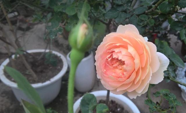 Hồng William Morris là loại hoa đắt nhất, một chậu hoa được bán với giá 2,5 triệu đồng. Đây là loại hoa đắt ngang với cả chậu địa lan, Bích đào hay hoa Mai vàng
