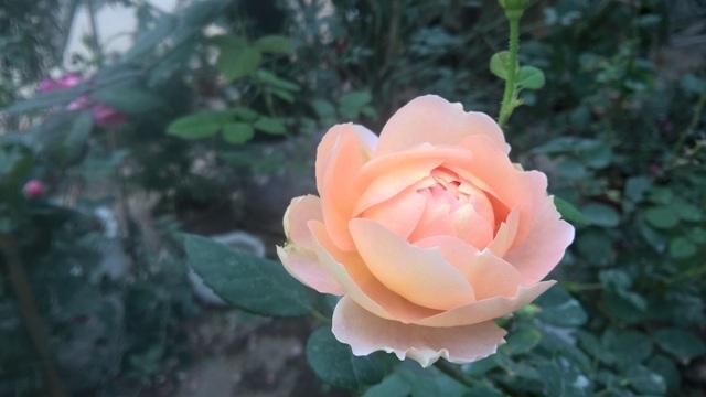 Hoa hồng William morris xuất xứ từ Anh, đây là loại hoa có màu hồng phấn khá đặc biệt. Được biết, loại hoa này được nhập về số lượng ít, nhưng được nhiều người đặt mua.