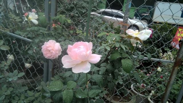 Hoa hồng Misaki có xuất xứ Nhật Bản có mức giá 500.000 đồng/chậu