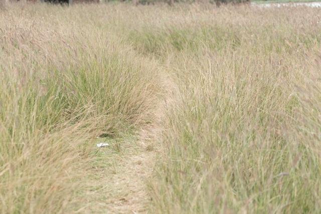 """Đẹp mê mẩn với cánh đồng hoa cỏ lau quê """"Chị hai 5 tấn"""" - 8"""