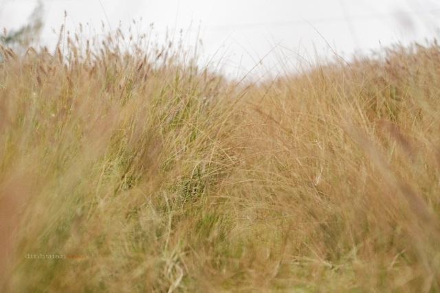 Cánh đồng hoa cỏ lau hoang sơ và chưa có sự can thiệp của con người