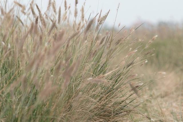 Khi cái lạnh đặc trưng của miền Bắc ùa về, cũng là lúc cánh đồng cỏ lau trổ cờ hoa cỏ lau tím, hoa lau trắng quyến rũ với vẻ đẹp mà tự nhiên ban tặng làm mê hồn người (ảnh: Đình Tuấn)