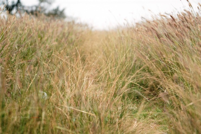 """Đẹp mê mẩn với cánh đồng hoa cỏ lau quê """"Chị hai 5 tấn"""" - 4"""