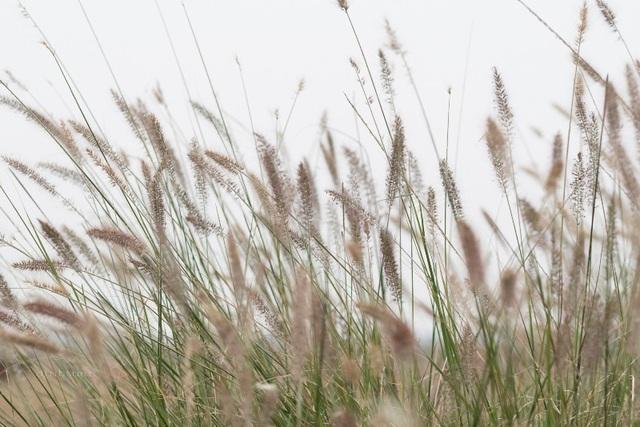"""Đẹp mê mẩn với cánh đồng hoa cỏ lau quê """"Chị hai 5 tấn"""" - 3"""