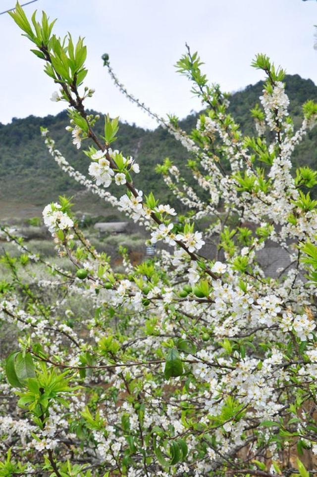 Nằm ở độ cao hơn 1.000 m so với mặt nước biển, Mộc Châu sở hữu bầu không khí trong lành, khoáng đạt. Đến với bản cao Tây Bắc những ngày này, du khách sẽ được chiêm ngưỡng những đồi hoa mơ, hoa mận khoe sắc trắng tinh khôi.