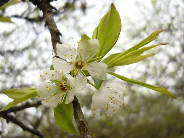 Hoa mận nếu thoạt nhìn sẽ có cảm giác hơi giống với hoa đào rừng, thế nhưng nếu ngắm kỹ bạn sẽ thấy hoa mận nở thành chùm dày, cánh hoa mỏng ôm trọn lấy nhụy vàng.