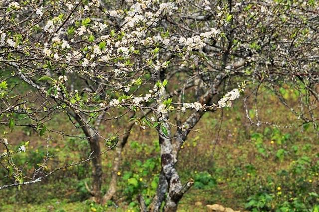 Những nhánh hoa mận trổ bông, đâm lá trong tiết nóng ẩm của mùa xuân và cho trái chín vào mùa hè. Rừng mận sẽ nhanh chóng trút lá vào mùa đông để ủ mầm cho mùa xuân năm sau.