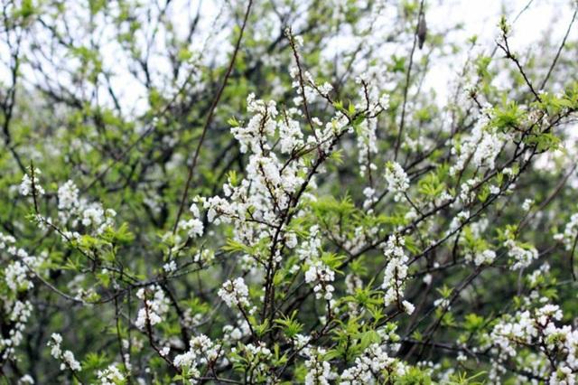 Hoa mận là loài hoa đặc trưng của Mộc Châu mà không nơi nào có được. Mùa hoa cải trắng là một trong những thời điểm du lịch Mộc Châu tuyệt vời nhất trong năm. Khoảng thời gian từ cuối tháng 1 đến giữa tháng 2 chính là thời điểm hoa cải trắng nở đẹp nhất.