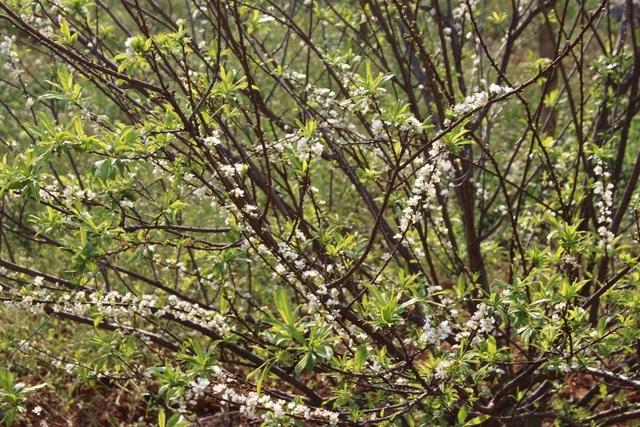 Tuy nhiên, tùy vào thời tiết mỗi năm mà thời gian hoa mận nở có thể sớm hoặc muộn. Như năm nay, do thời tiết khá nóng nên hoa nở lác đác theo từng đợt, hoa ra ít, không đều.