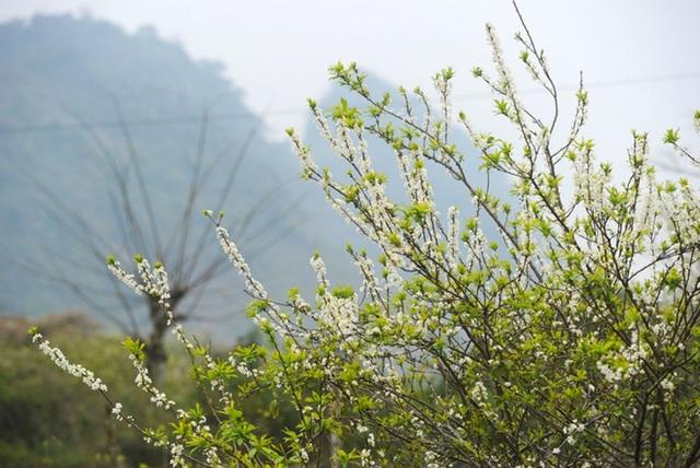 Bên cạnh đó, mùa hoa mận Mộc Châu rất mau tàn, thường chỉ kéo dài khoảng 2-3 tuần. Chính vì thế nên nhiều du khách đến Mộc Châu đều tiếc ngẩn ngơ vì không có cơ hội chiêm ngưỡng vẻ đẹp của loài hoa này.