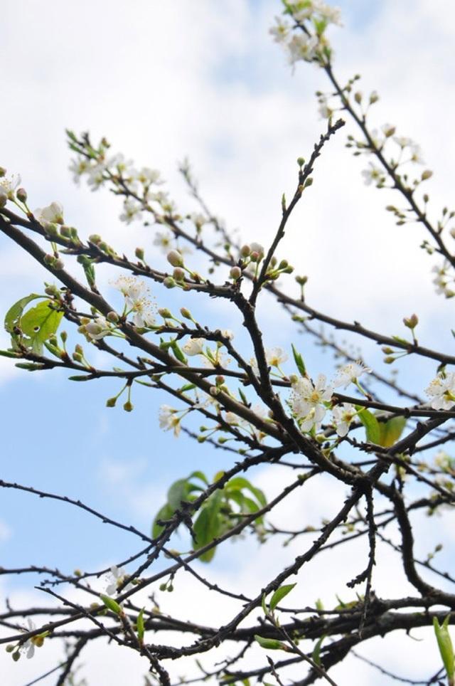 Theo lời những người dân bản địa, mọi năm, khi đến Mộc Châu vào mùa hoa mận trắng, khung cảnh nơi đây đẹp tựa như xứ sở thần tiên thuần khiết, mơ mộng với những cánh đồng, thung lũng, con đường, sườn đồi,…tràn ngập màu trắng tinh khôi.